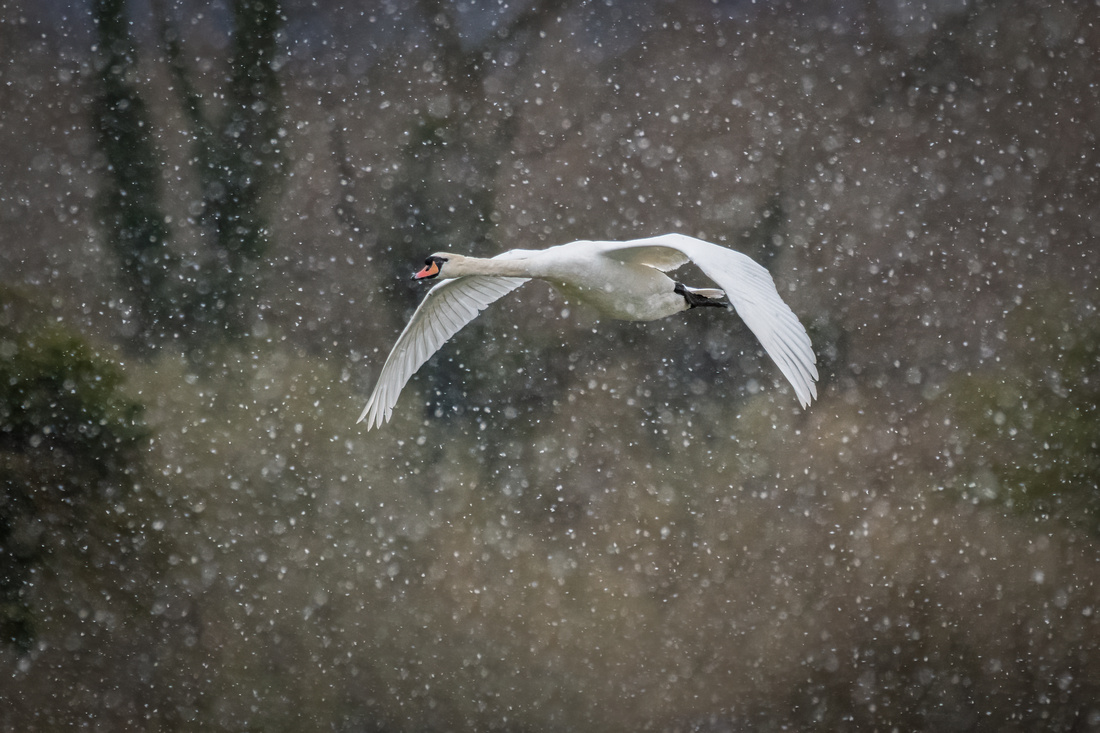 Mute swan in the Snow