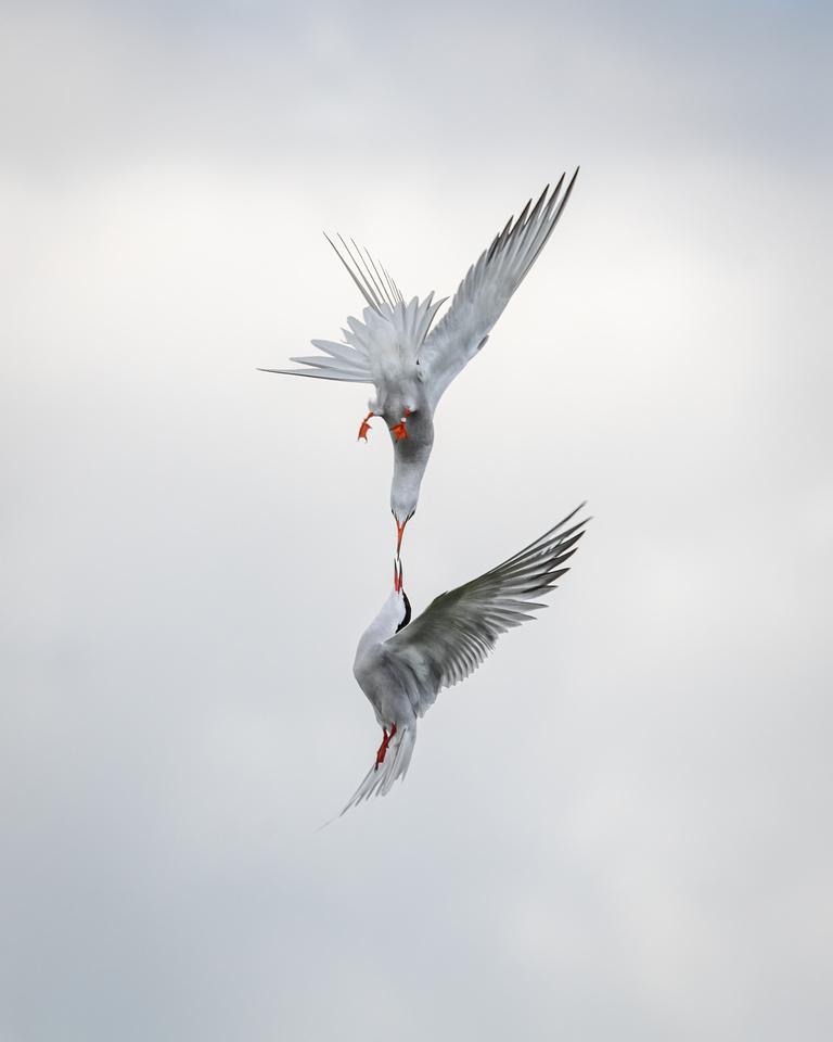 Common terns (Sterna hirundo)