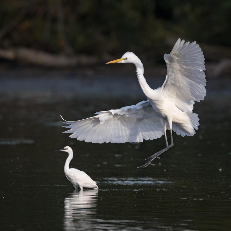 Little egret (Egretta garzetta) & great egret (Ardea alba)