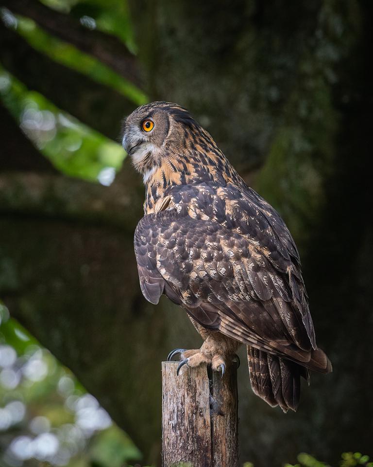 Siberian eagle owl (Bubo bubo sibiricus)