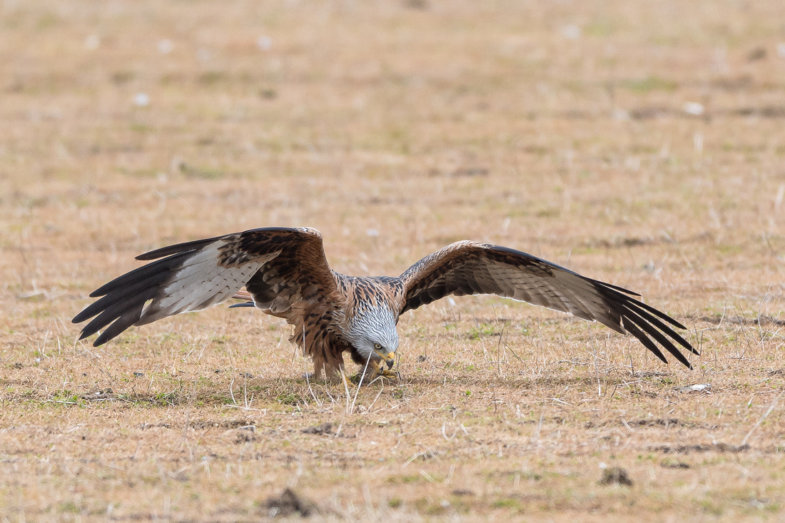 Red kite looking for worms!