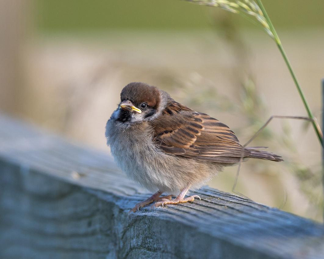 Juvenile tree sparrow (Passer montanus)
