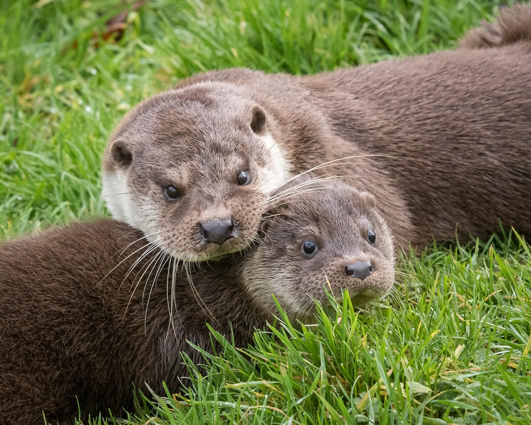 Eurasian otters (Lutra lutra)