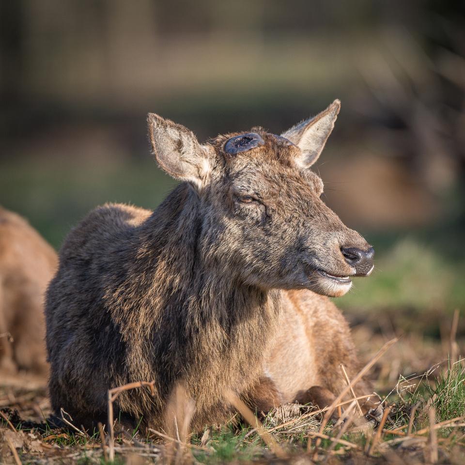 Red deer minus his antlers!