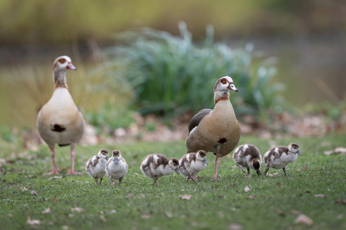 The Egyptian geese family
