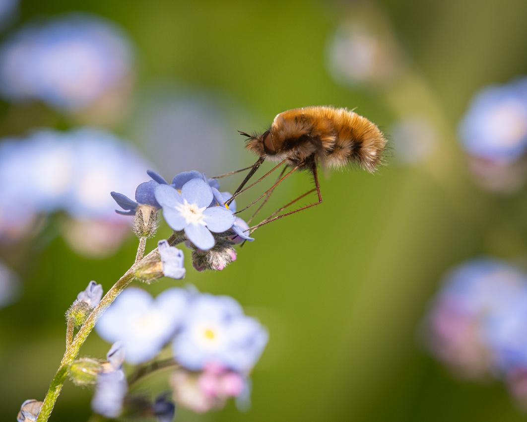Dark-edged bee-fly (Bombylius major)
