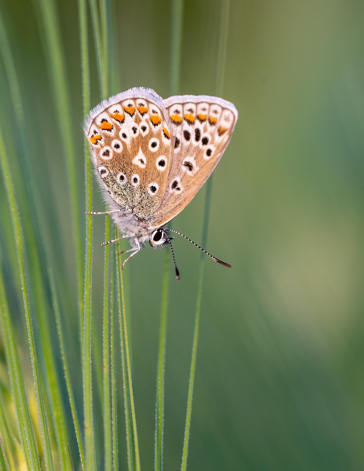 Common blue butterfly (Polyommatus icarus)