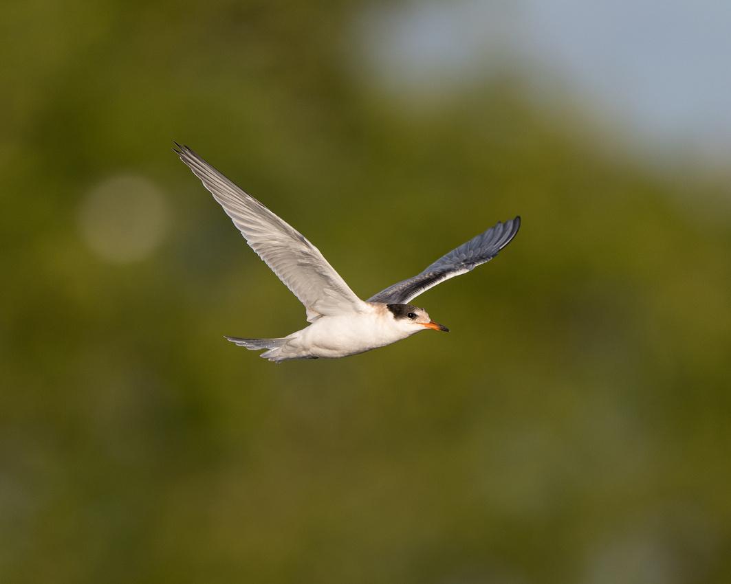 Juvenile common tern (Sterna hirundo)