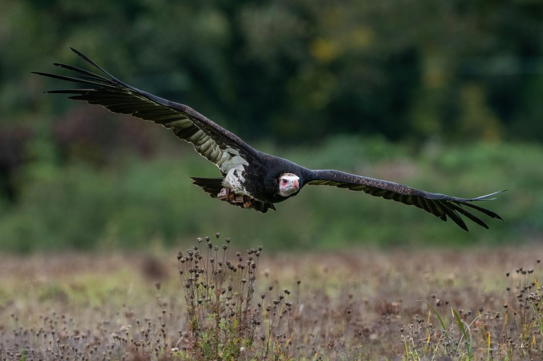 White-headed vulture (Trigonoceps occipitalis)