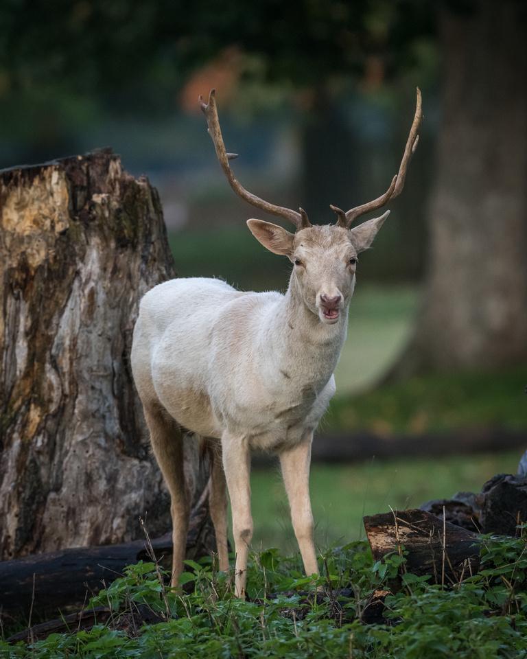 Fallow buck (Dama dama)