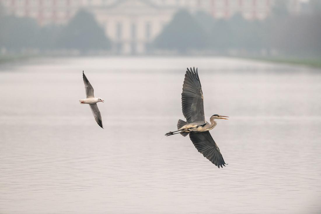 Grey heron (Ardea cinerea) & black-headed gull (Chroicocephalus ridibundus)