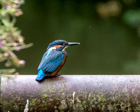 Juvenile common kingfisher (Alcedo atthis)