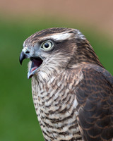 Female sparrowhawk (Accipiter nisus)