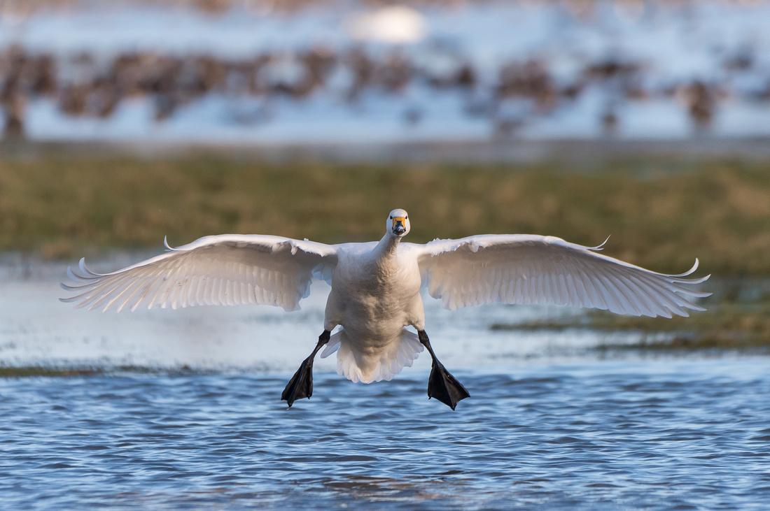 Bewick's swan (Cygnus bewickii)