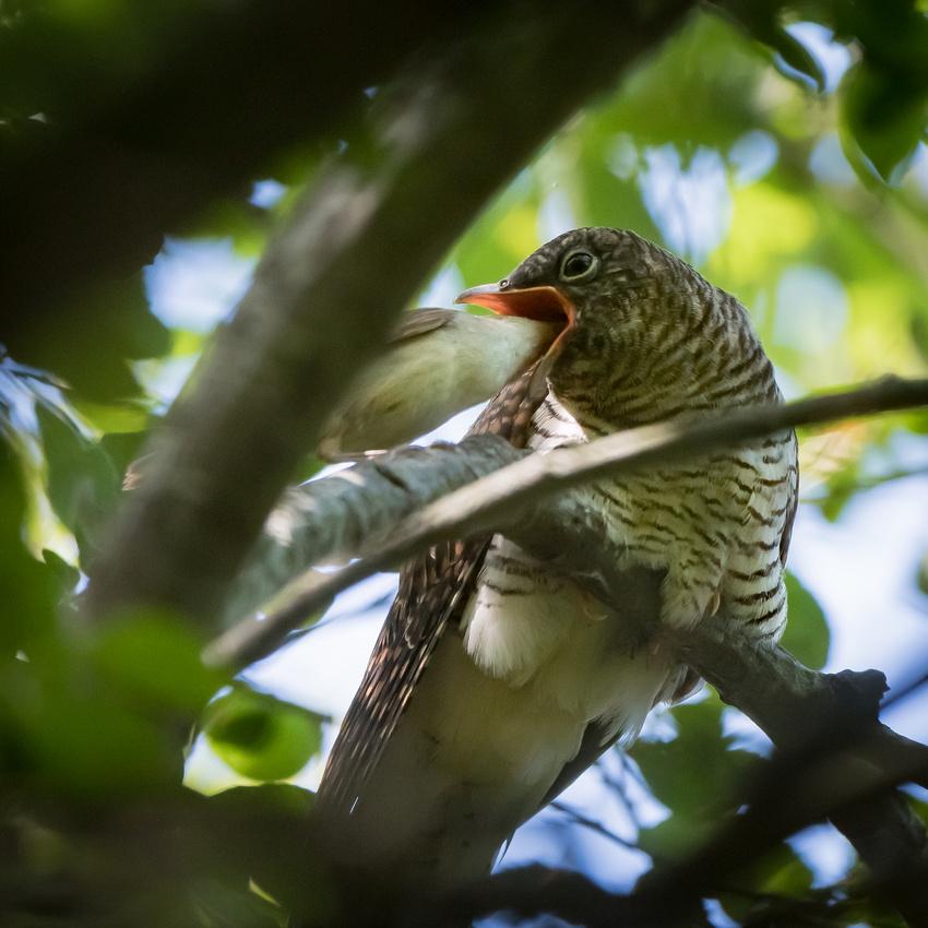 Juvenile common cuckoo (Cuculus canorus)